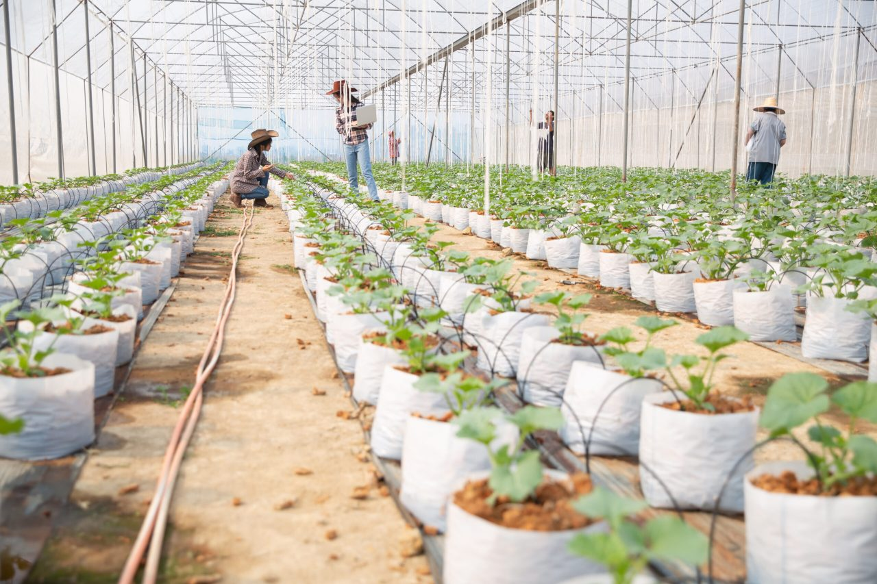 melons-plantation-with-workers - Copy - Copy