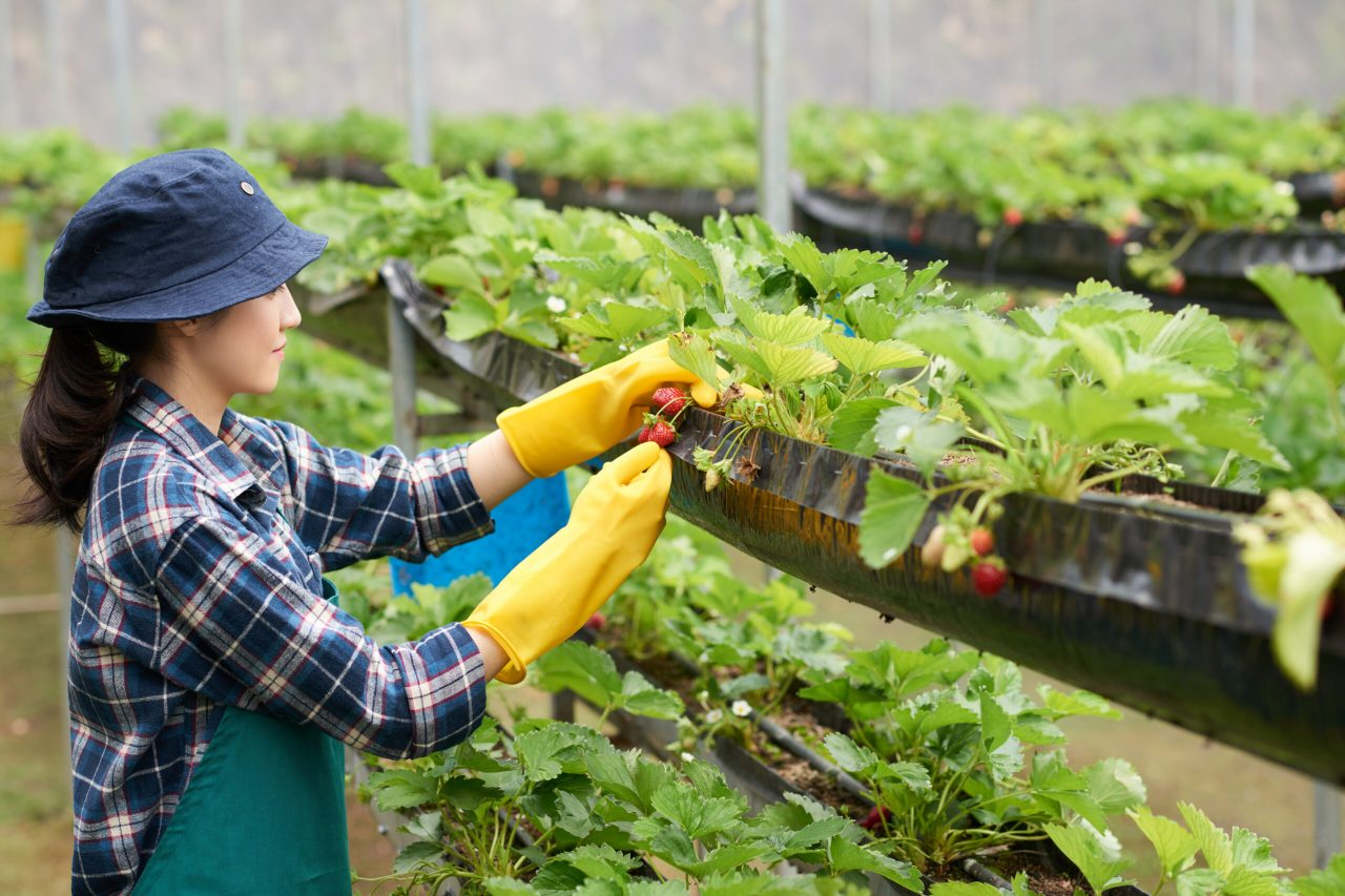 side-view-female-farmer-harvesting-strawberry-commercial-greenhouse - Copy